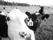 cow-black-and-white