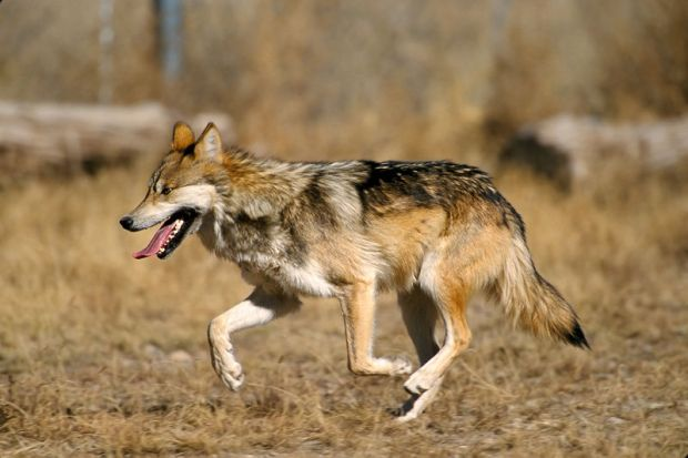 800px-Mexican_Wolf_2_yfb-edit_1